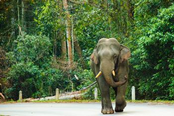 ช้างป่าออกหากินบนถนนธนะรัชต์
